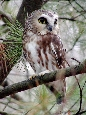 saw-whet owl perched on branch